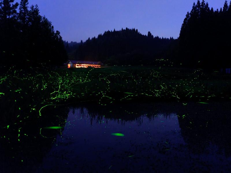 秋田森のテラスには、ゲンジボタル、ヘイケボタル、ヒメボタルの群れをなして舞う様子を見ることができる。